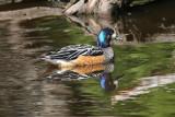1111 Chiloe Wigeon, Anas sibilatrix, male, Tierra del Fuego NP, Argentina, 20101111.jpg