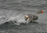 1111 Flightless Steamerduck, Tachyeres pteneres, Beagle canal, Argentina 20101111.jpg