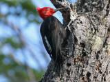1111 Magellanic Woodpecker, Campephilus magellanicus, male, Tierra del Fuego NP, Argentina, 20101111.jpg
