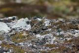 1112 White-bellied Seedsnipe, Attagis malouinus, Lago escondido, Argentina, 20101112.jpg