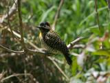 1030 Green-barred Woodpecker Colaptes melanochloros Costanera Sur Argentina 20101030.jpg
