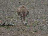 1104 Lesser Rhea Rhea pennata Punta Tombo Argentina 20101104.jpg