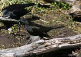 1111 Austral Blackbird Curaeus curaeus reynoldsi female male behind Tierra del Fuego NP 20101111.jpg