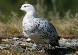 1111 Upland Goose Chloephaga picta male Tierra del Fuego NP 20101111.jpg