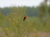 Scarlet-bellied Blackbird Amblyramphus holosericeus Reserva Natural Ottamendi Argentina 20101114.jpg