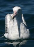 New Zealand Seabirds 2007, extended version; Wandering Albatross and Royal Albatross
