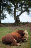 8th August 2009  bull and tree