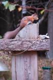 7th October 2009  squirrel