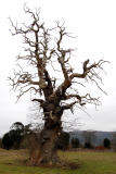 10th February 2006 Cromwell Tree