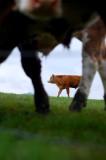 15th May 2008  brown bullock