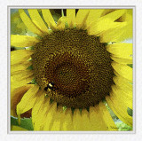 Sunflower & bumble bee