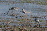 Yellowlegs_4220.jpg