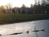 018 - Houdringe: de koebeesten nu vanaf het ijs genomen