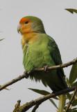 Perzikkopagapornis / Peach-faced Lovebird  / Agapornis roseicollis