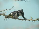 bonteijsvogel1.jpg