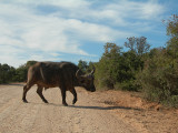 buffel2.jpg