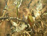 emeraldcuckoo1.jpg