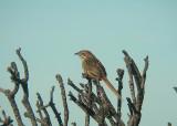 grassbird.jpg