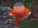 Ganoderma tsugae1668.JPG