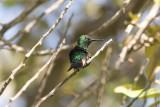 Blue-throated Emerald