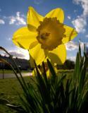 P4083692_daffodil_4wm.jpg