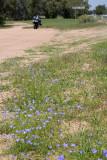 Barcoo flowers