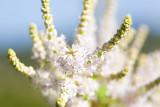 Nutmeg shrub in flower