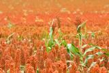 Sorgham Field