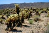 3740 Cholla Cactus Garden.jpg