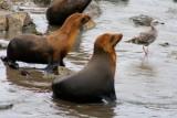 4319 Sea lions at Monterey.jpg