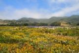 4409 Wildflowers Halfmoon Bay.jpg