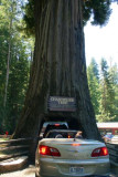 4613 Chandalier Tree Leggett.jpg