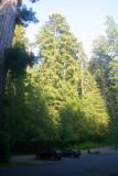 4749 Redwoods tower over cars.jpg