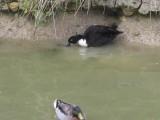 DucksInMoat.jpg