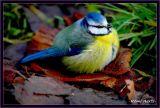 blauwe mees