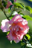 Rose Of Sharon 16/03