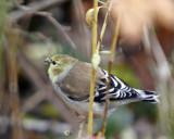 American Goldfinch Male - Winter Plumage
