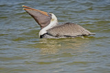 Brown Pelican feeding