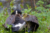 Under Momma's Wing