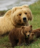Brown Bear  of Katmai National Park AK