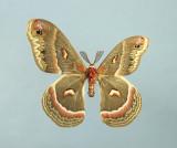 Wing Dwarfism 2 - Cecropia Moth (Hyalophore cecropia)