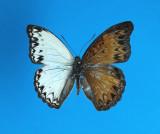 Gynandromorph 5 (Cymothoe caenis)