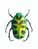 Super-rare beetle 1(r)