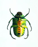 Super-rare beetle 1(v)