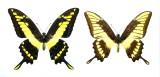 Unique aberration 2 (Papilio thoas)