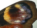 Peacock butterfly forewing eyespot - uncropped full size image