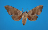 Gynandromorph 1 (Poplar Hawkmoth, Laothoe populi)