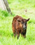 Cows & Calves