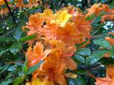 calendulaceum Hooper Copper *