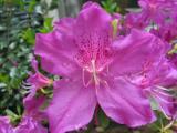 'Pennington Purple'